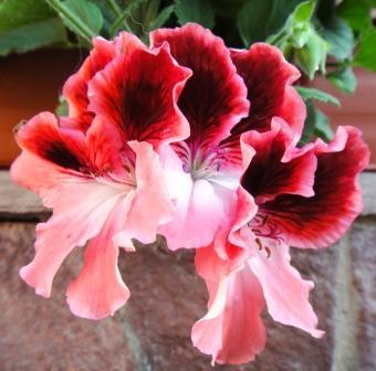 герань цветы фото